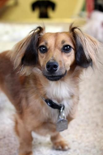 Jazzy is an adoptable Dachshund Dog in Mission, BC Jazzy is a resident of S.A.I.N.T.S, a sanctuary for senior and special needs animals. This 5 ye ... ...Read more about me on @Petfinder.com.com