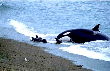 Puerto Madryn, Argentina  the Killer Whales come ashore to hunt baby seals!