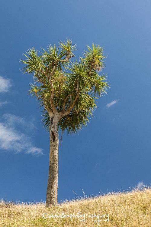 Cabbage Tree, Puponga, New Zealand
