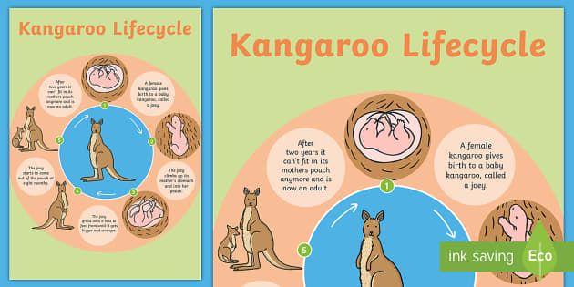 Kangaroo Life Cycle Poster Life Cycles Life Cycles Activities Kangaroo