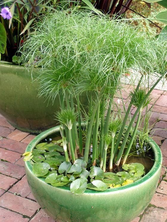 Five Dwarf Egyptian Papyrus - Ornamental Grasses - Cyperus papyrus - 5 Live Perennial Plants by Hope Springs Nursery