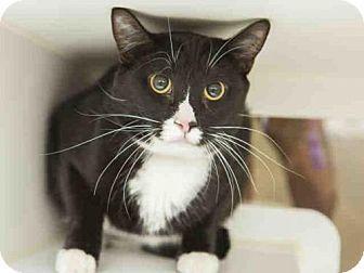Domestic Mediumhair Cat for adoption in Phoenix, Arizona - ENZO