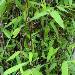 Comment cultiver le Bambou non traçant Fargesia Trifina Black ? Les Bambous Fargesia sont les seuls bambous véritablement non traçants de nos jardins. Au delà du fait qu'ils sont non envahissants, on aime leur élégance.Le Bambou Fargesia nitida 'Trifina Black' est une nouvelle génération de Fargesia nitida, issue d'un semi récent.Le Bambou Fargesia nitida 'Trifina Black' se distingue par la couleur de ses chaumes presque noirs.  Il se comportera également p...