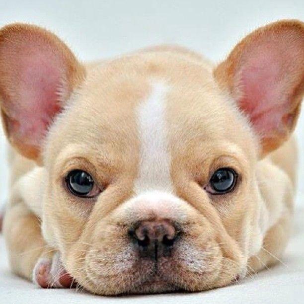Gorgeous girl! French Bulldog Puppy. Limited Edition French Bulldog Tee http://teespring.com/lovefrenchbulldogs BlinkieCollar.com