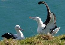 Albatross colony and cute blue penguins