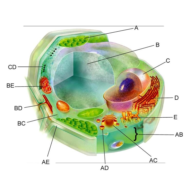 3d Plant Cell Diagram Not Labeled