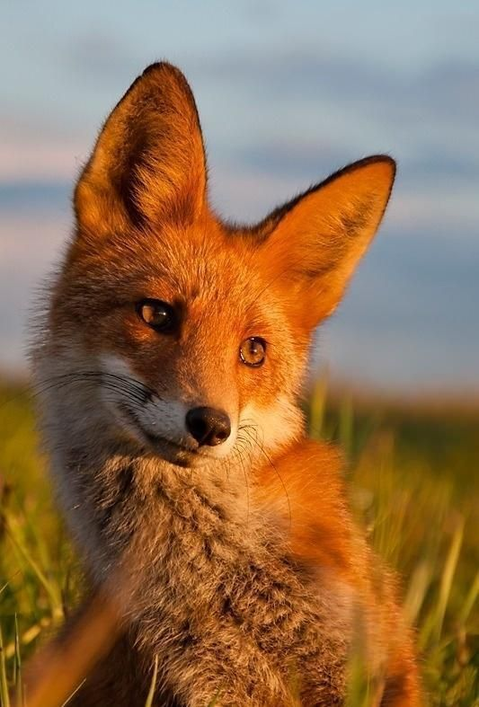 Stunning close-up of a red fox in a meadow! Beautiful! pic.twitter.com/vcilIpNTKC