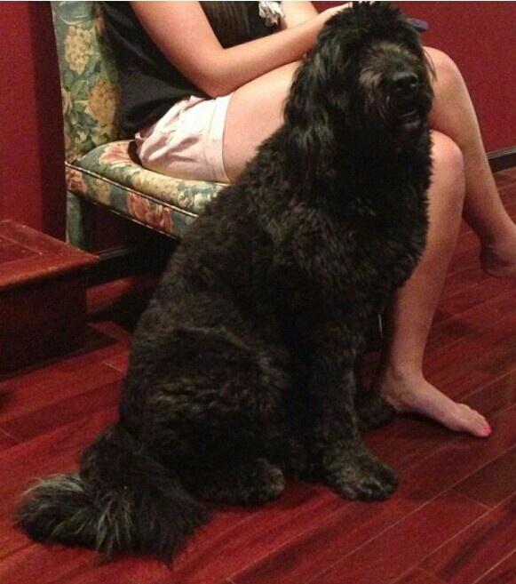 Newfoundland Giant Poodle Mix Newfypoo Mixed Breeds