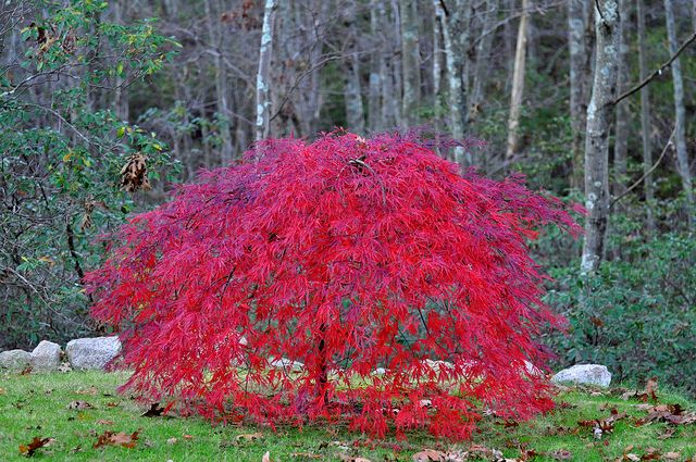 Weeping Japanese Maple Trees | This tree is 4 years old. It … | Flickr