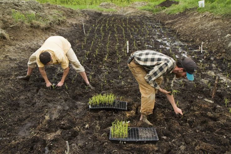 Two Maine farmers try a new crop  rice - The Portland Press Herald    American Farmers Working