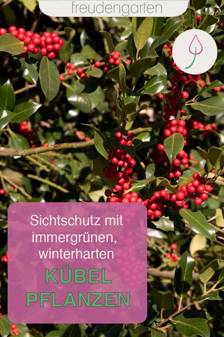Immergrune Kubelpflanzen Winterharte Pflanzen Garten Pflanzen