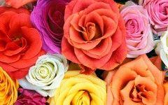 arti+bunga+mawar flo0124