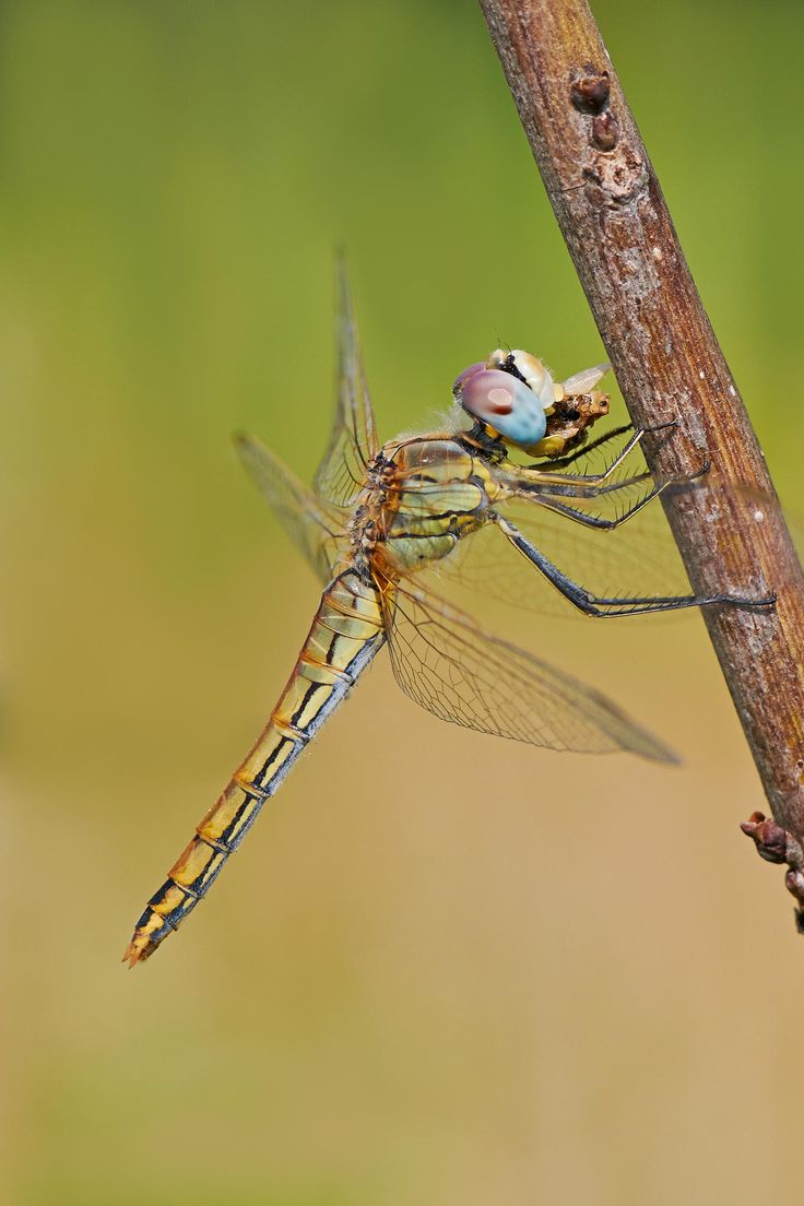 dragonfly by Stefano Disperati on 500px