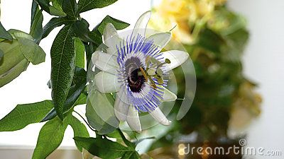 Close up picture on a light purple passion flower in a window.
