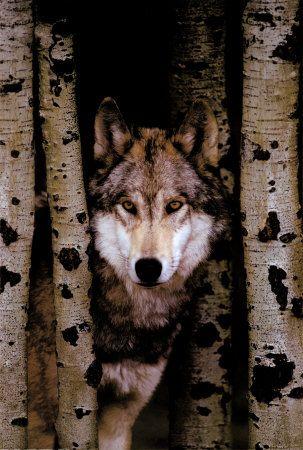 Loup gris                                                                                                                                                                                 Plus