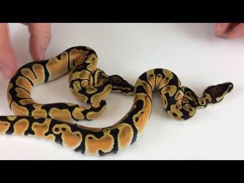 Care Sheet - Python regius - World of Ball Pythons
