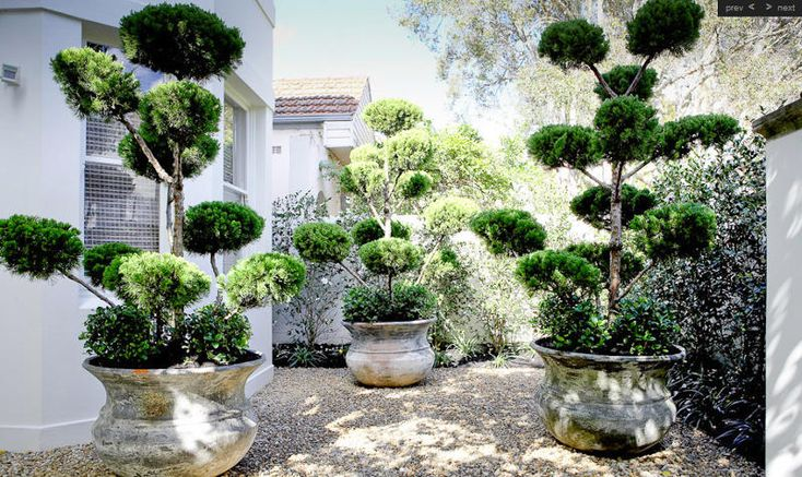 potted topiary trees: Pollard Trees, Double Bays, Funky Trees, Cloud Pruning, Topiaries Trees, Landscape Design, Cloud Trees, Hair Food, Pots Topiaries