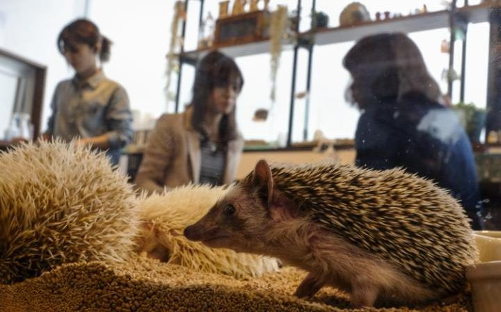 Hedgehog petting cafe in Roppongi, Tokyo, Japan