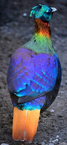 ♥ Himalayan Monal... A stunningly colourful member of the pheasant family.