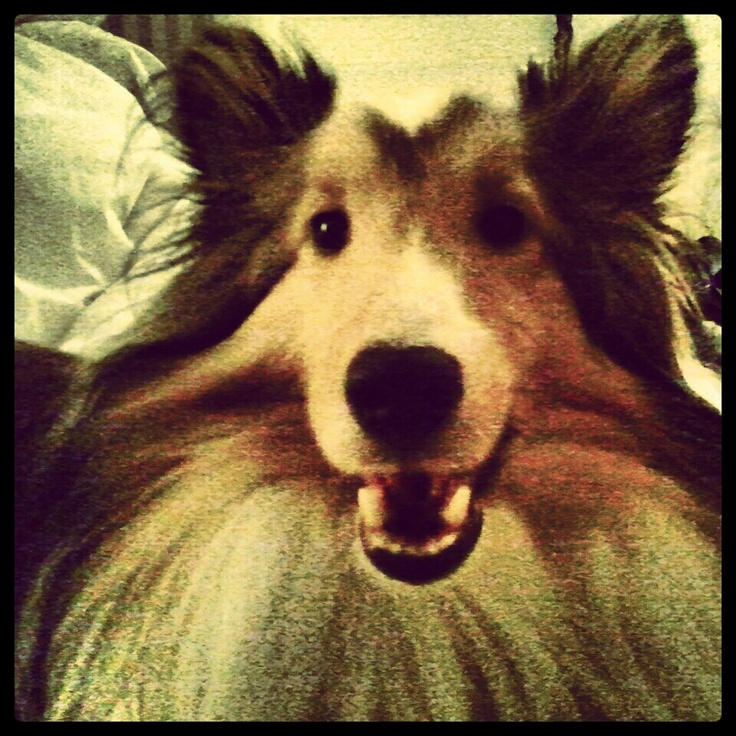 Jax the Sheltie