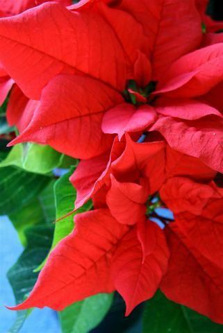 Flor do Natal ou Poinsétia - como cuidar