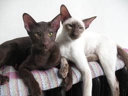 """* * """" Weez be tryin' to tellz ya. Overnight, someone put a hex on dat 'Figaro' kitten and like 350 RP'd it. Wouldn'ts ya think dat's weird?"""" CAT ON RIGHT: """" I'd say it'z awful monotenous."""""""