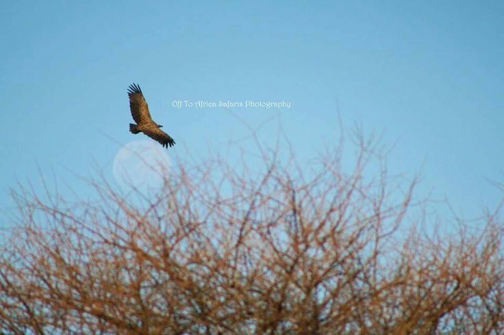 Vulture in flight #offtoafricasafaris #fortheloveofnature #vulture