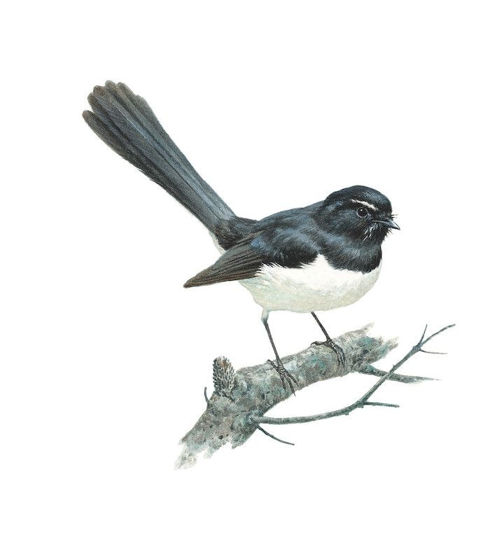 Wagtail Drawing Willie Wagtail Sold