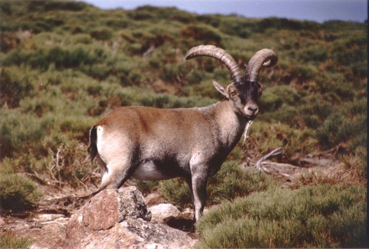 Pyrenean Ibex    Pyrenean_Ibex_.jpg, declared extinct in 2000.  DNA was used in a controversial cloning project. Used to inhabit parts of Spain, Portugal, and France.