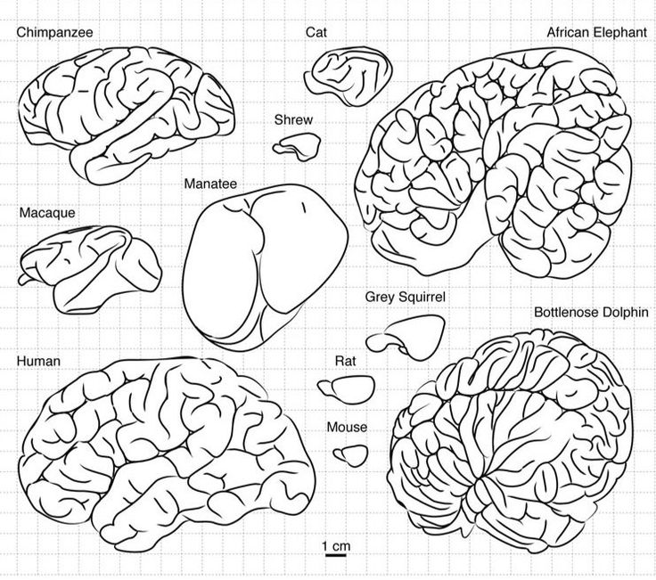 Why Are Our Brains Wrinkly? Brain wrinkles naturally develop as the brain gets larger in order to lend more surface area and help white matter fibers avoid long stretches