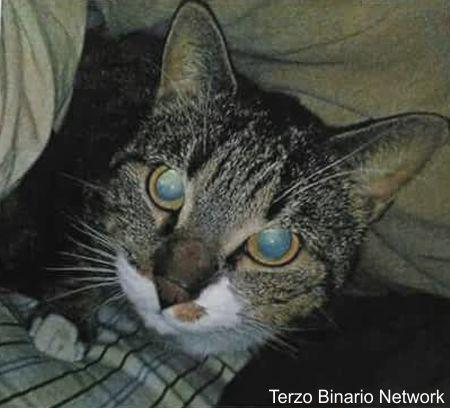 GENOVA: SMARRITO PEPE, GATTO TIGRATO GRIGIO E NERO http://www.terzobinarionetwork.com/2016/12/genova-smarrito-pepe-gatto-tigrato.html
