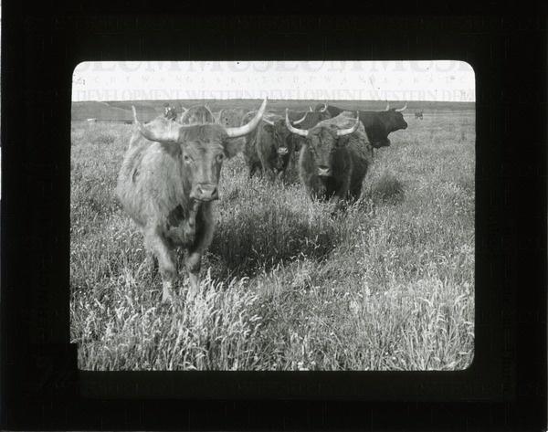 Highland cattle in pasture at Thurso, Scotland | saskhistoryonline.ca