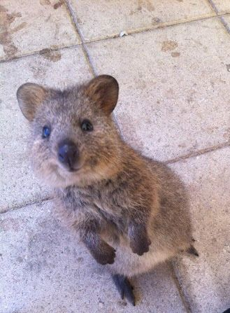 Best Quokkas Australian Animal My New Favorite Images On - 15 photos that prove quokkas are the happiest animals in the world