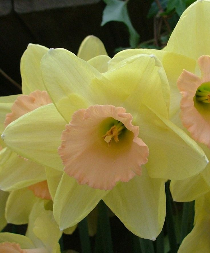 The 108 best daffodils images on pinterest daffodils spring narcissus billy graham pink large cupped narcissi narcissi flower mightylinksfo