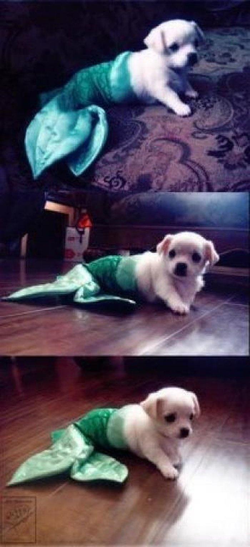 Mermaid puppy <3Sidekick Themermaidnyc, Cuz Legs, Mermaid Tails, Things Dogs, Mermaid Puppies, Mermaid Sidekick, Themermaidnyc Pinittowinit, Adorable Animal, Pets Costumes
