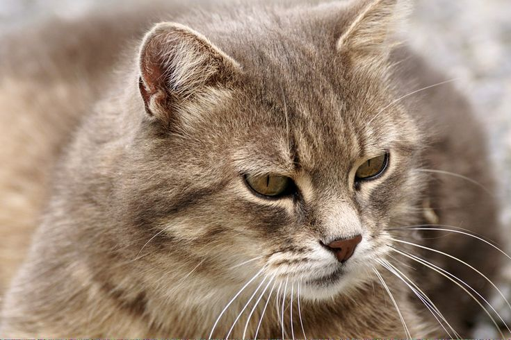 Can Cats Eat Chocolate Catsthatlookliketigers Id 704374119 Cat Vs Dog Cat Adoption