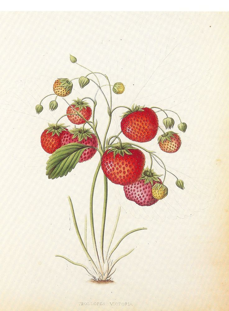 Vintage Botanical Book Print by Prestele of Victoria Strawberry. $7.50, via Etsy.