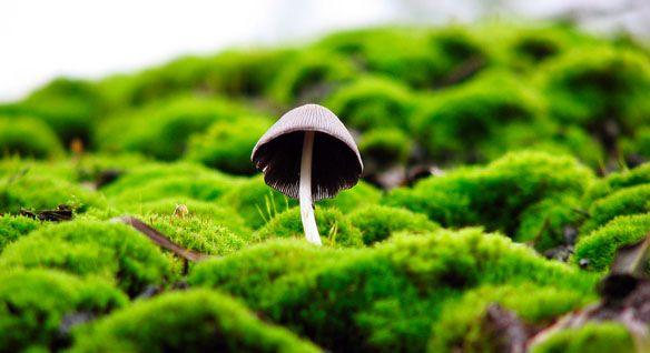 Les champignons psilocybines montrent un taux de réussite de 80 % pour arrêter de fumer Les champignons psilocybines aussi connus sous le nom de champignons