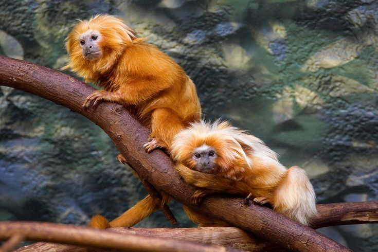 The golden lion tamarin , also known as the golden marmoset, is a small New World monkey of the family Callitrichidae. Native to the Atlantic coastal forests of Brazil, the golden lion tamarin is an endangered species and there are only around 1,000 left in the whole world individuals spread between four places along southeastern Brazil, and a captive population maintained at about 490 individuals among 150 zoos.
