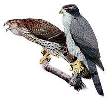 Northern goshawk - Wikipedia, the free encyclopedia