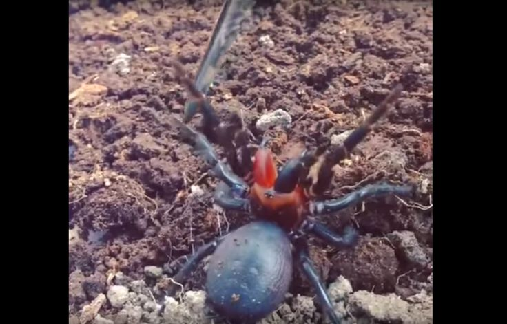 Australia, once again, blesses the internet with another terrifying photo of a local animal. This time, baring its alarmingly red fang (just the one), is none other than a funnel-web spider. This blood-curdling beauty was a once-in-a-lifetime discovery for Mark Wong, an invertebrate zoologist from the Australian National University.