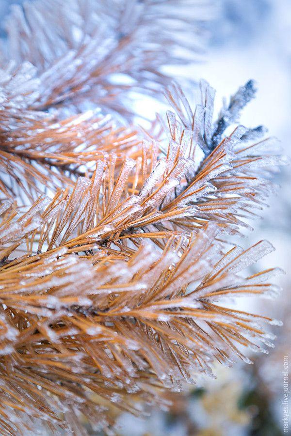 Yellow pine needles by Mark Sivak on 500px