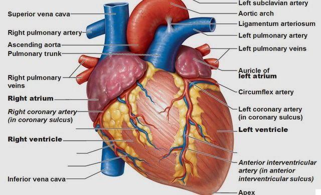 Il cuore è il centro dell'organismo. È un organi muscolare cavo. Esso acquisisce il sangue ricco di ossigeno e lo pompa al resto del corpo. Esso è costitui