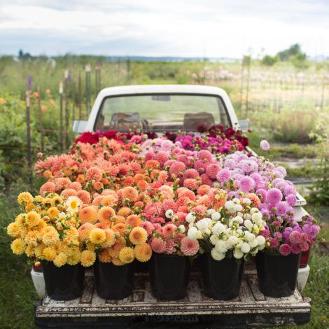 Print now available:  Truck full of dahlias at Floret Flower Farm.  Limited edition prints now available in the Floret Shop