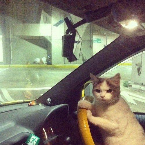 Este gato é um motorista muito consciente, mas sempre fica irritado com a maneira como os jovens dirigem de forma imprudente e estacionam de um jeito horrível. | 21 gatos que são muito mais eficientes do que você