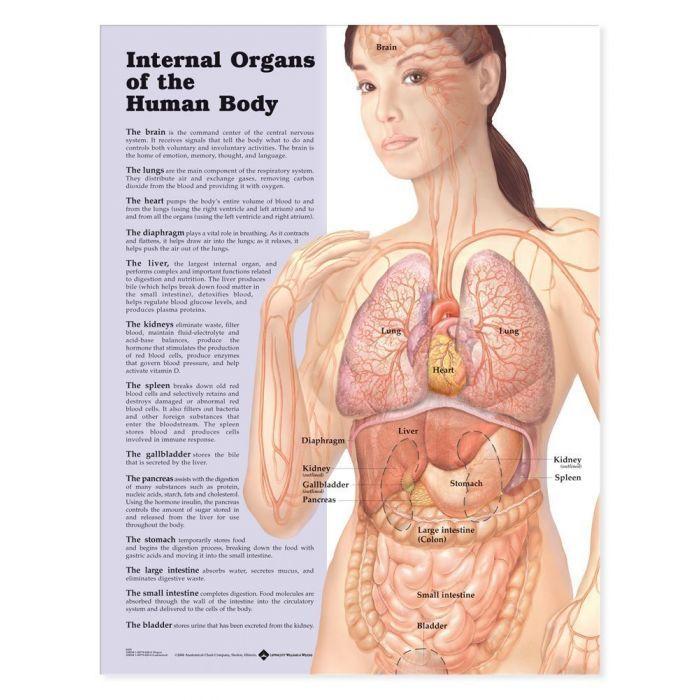 Internal Organs Of The Human Body Laminated Anatomical Chart Human Anatomy Female Human Body Anatomy Human Body Organs
