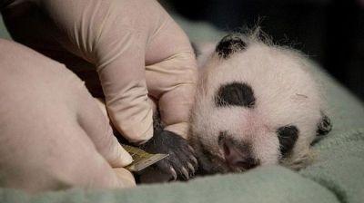 Muere cachorro de oso panda nacido en cautiverio en Japón | Info7 | Internacional