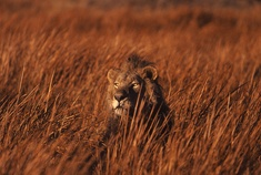 Okavango Delta - Botswana - Lion