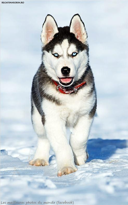 Best Husky Images On Pinterest Friends Puppies And Sketches - Guy quits his job to go on epic adventures with his husky