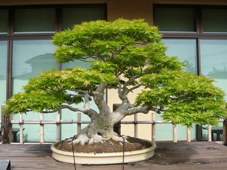 sanctuaire meiji japon lagage d rable du japon bonsai au musee bonsais pinterest. Black Bedroom Furniture Sets. Home Design Ideas